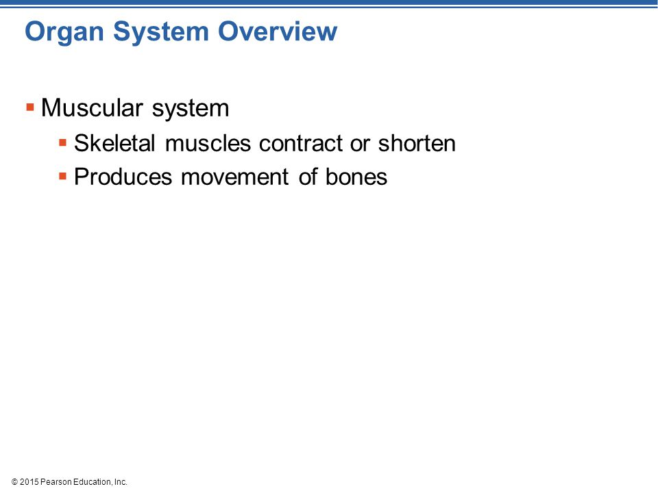 © 2015 Pearson Education, Inc. Organ System Overview  Muscular system  Skeletal muscles contract or shorten  Produces movement of bones
