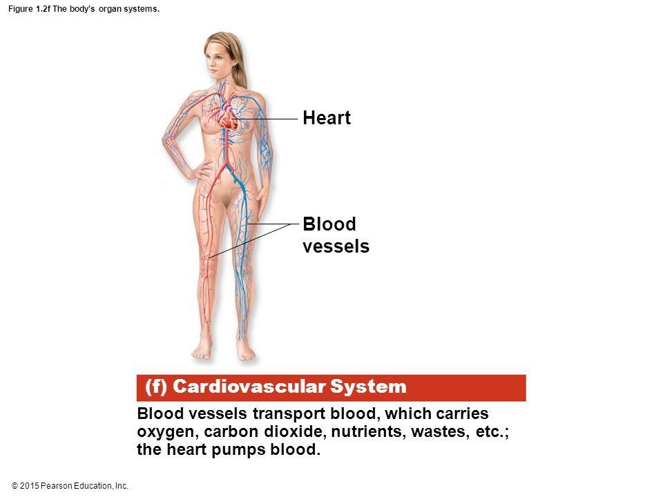 © 2015 Pearson Education, Inc. Figure 1.2f The body's organ systems. Heart Blood vessels (f) Cardiovascular System Blood vessels transport blood, whic