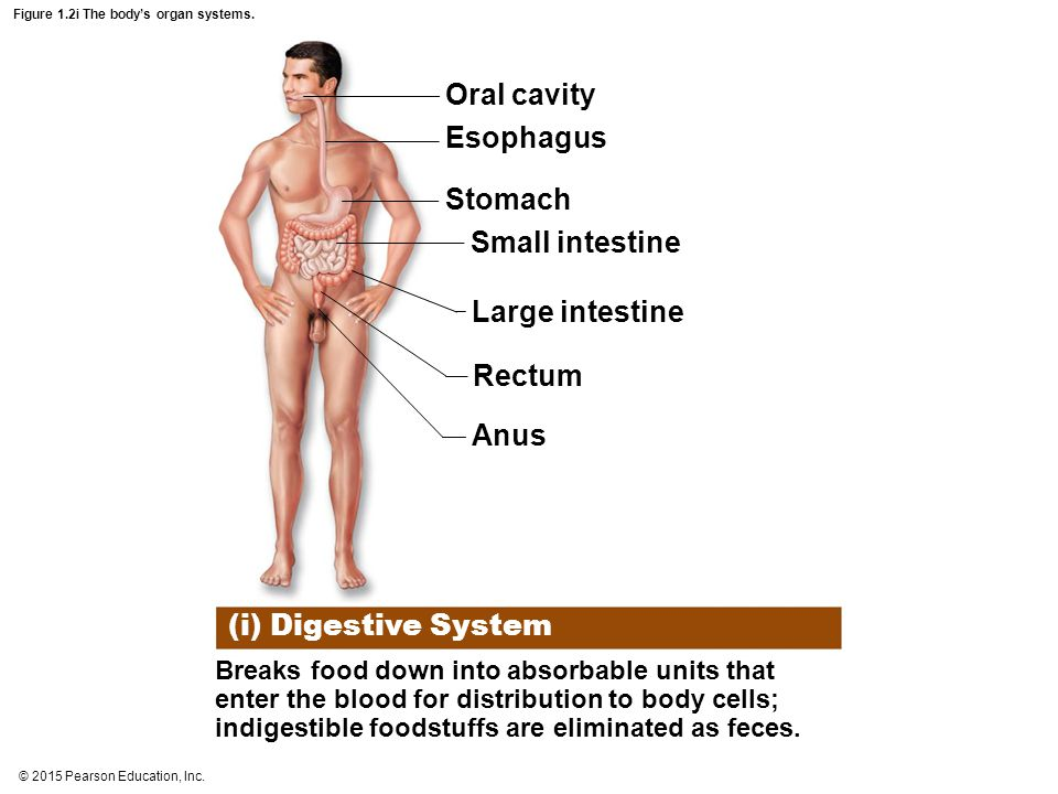 © 2015 Pearson Education, Inc. Figure 1.2i The body's organ systems. (i) Digestive System Breaks food down into absorbable units that enter the blood