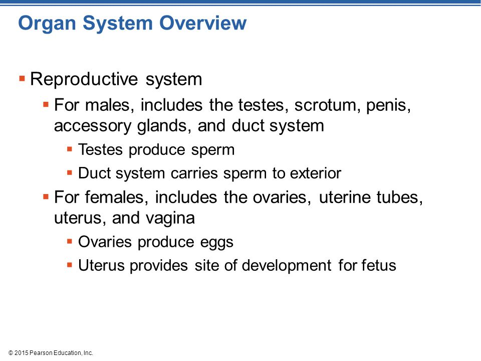 © 2015 Pearson Education, Inc. Organ System Overview  Reproductive system  For males, includes the testes, scrotum, penis, accessory glands, and duc