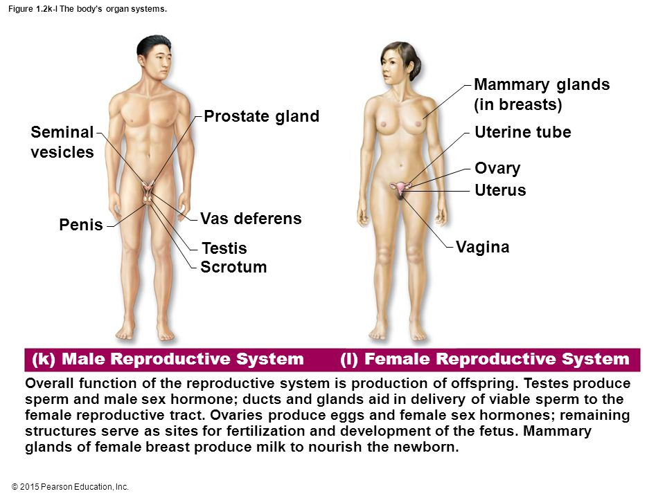 © 2015 Pearson Education, Inc. Figure 1.2k-l The body's organ systems. (k) Male Reproductive System Overall function of the reproductive system is pro
