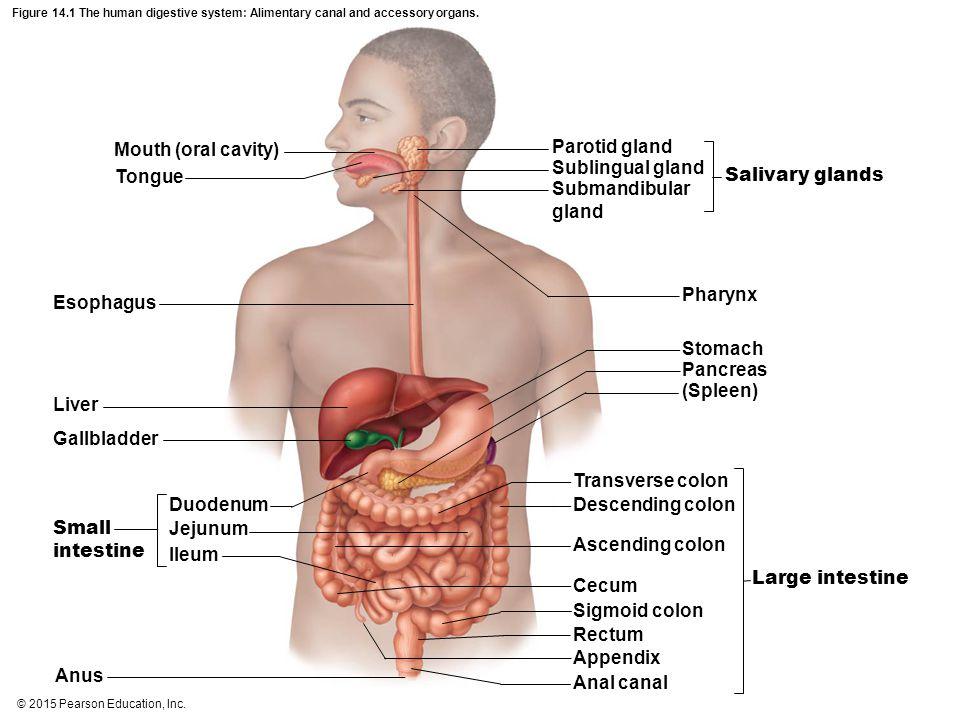 © 2015 Pearson Education, Inc.Figure 1.2k-l The body's organ systems.