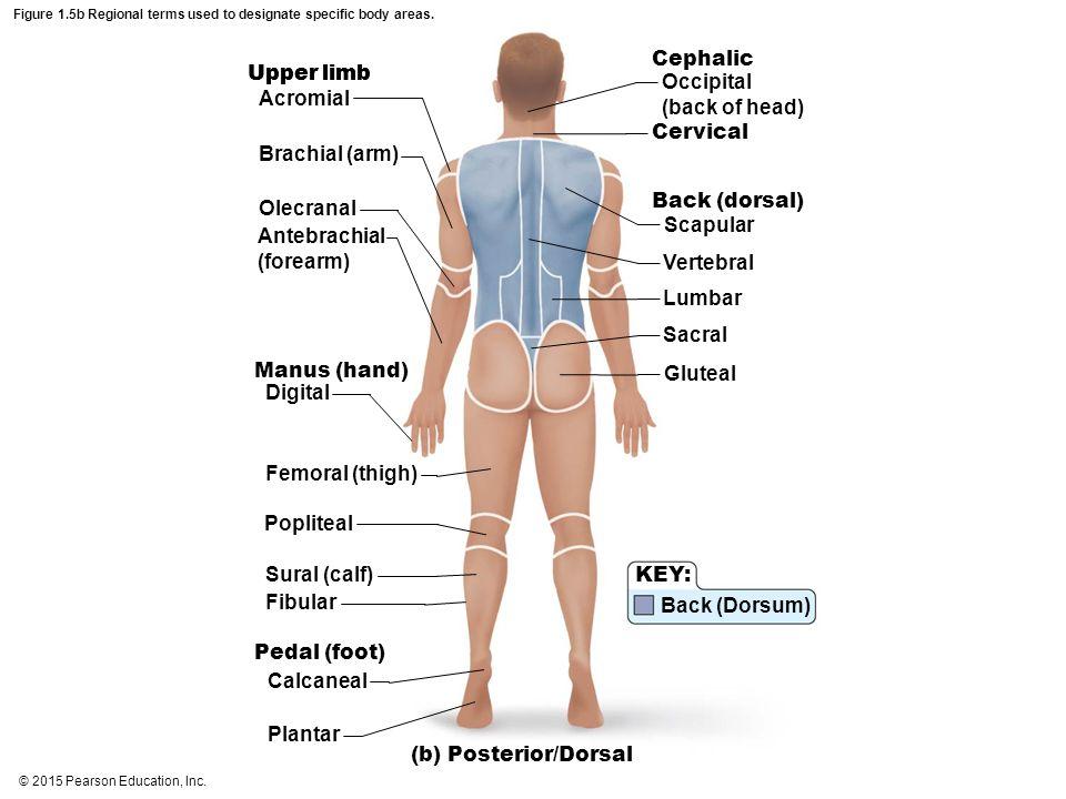 © 2015 Pearson Education, Inc. Figure 1.5b Regional terms used to designate specific body areas. (b) Posterior/Dorsal Upper limb Acromial Brachial (ar