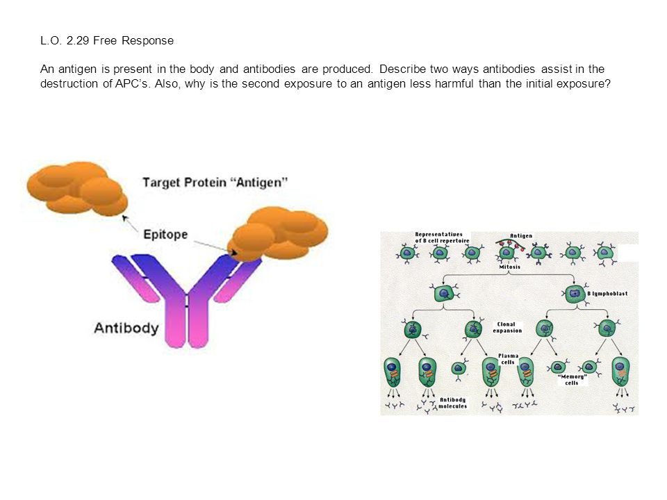 L.O. 2.29 Free Response An antigen is present in the body and antibodies are produced. Describe two ways antibodies assist in the destruction of APC's