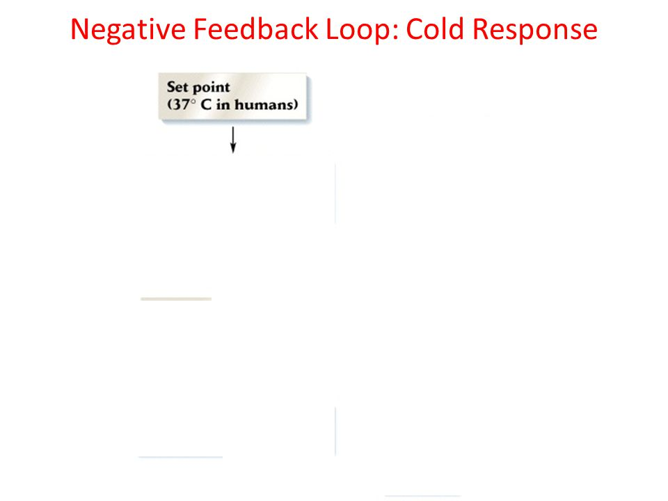 Negative Feedback Loops Reverses any change that moves conditions from a set point – Ex: if your temp drops…you will shiver to reverse that – Ex: If your temp rises…you will sweat to reverse that 98.6 98.899.299.599.7100.199.799.599.298.898.6