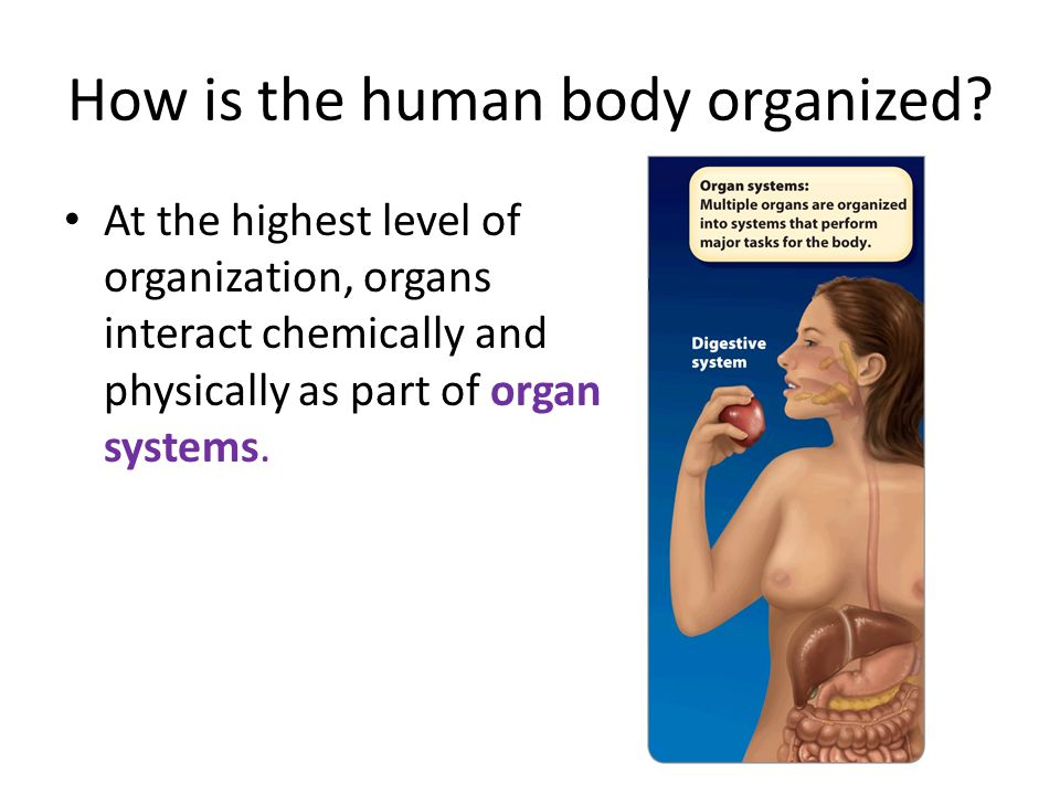 How is the human body organized.