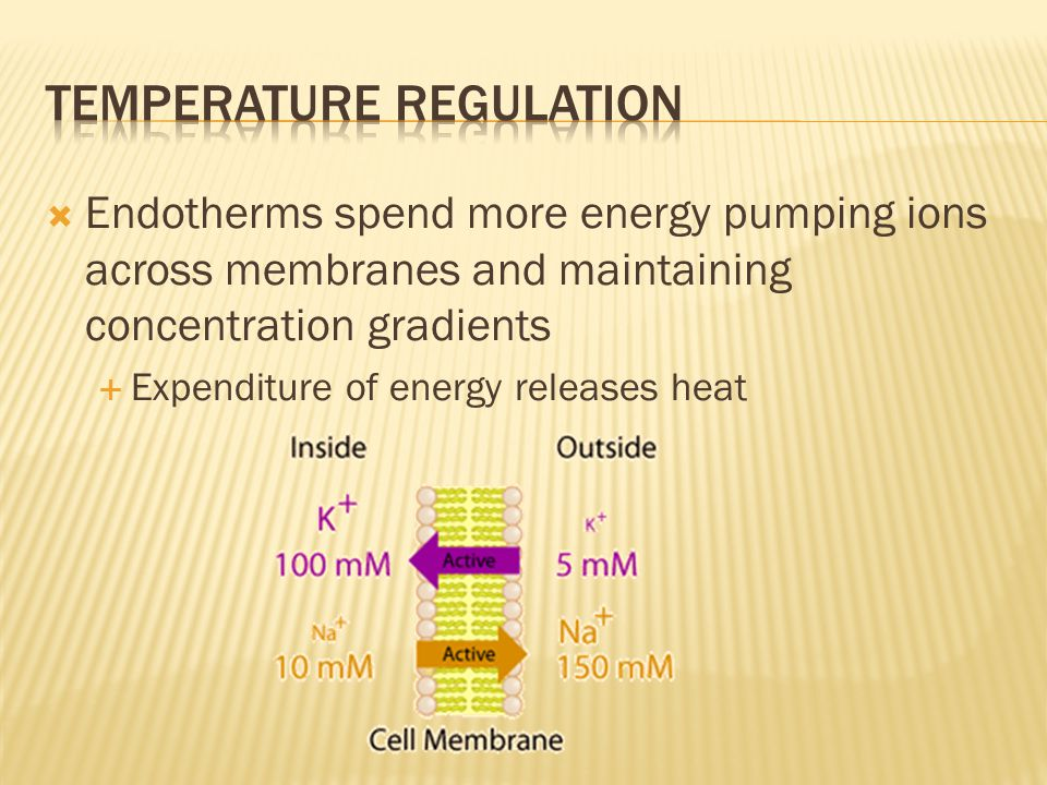  Endotherms spend more energy pumping ions across membranes and maintaining concentration gradients  Expenditure of energy releases heat