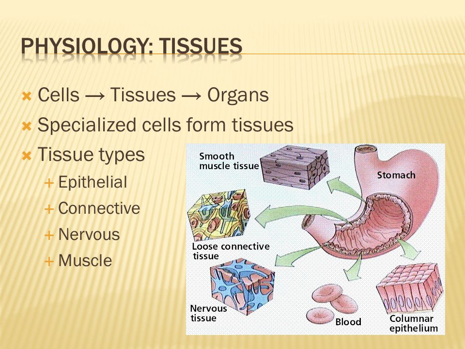  Cells → Tissues → Organs  Specialized cells form tissues  Tissue types  Epithelial  Connective  Nervous  Muscle