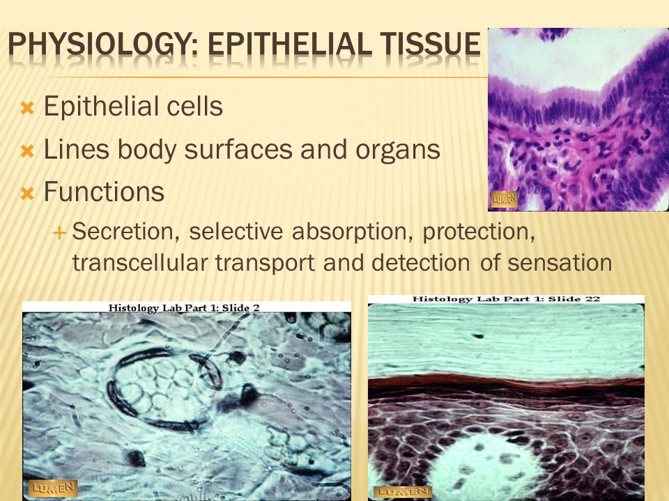  Components: Cells, fibers, extracellular matrix  Functions  Store energy, protect organs, provide structural framework, connect tissues  Tissue composition differs based on function