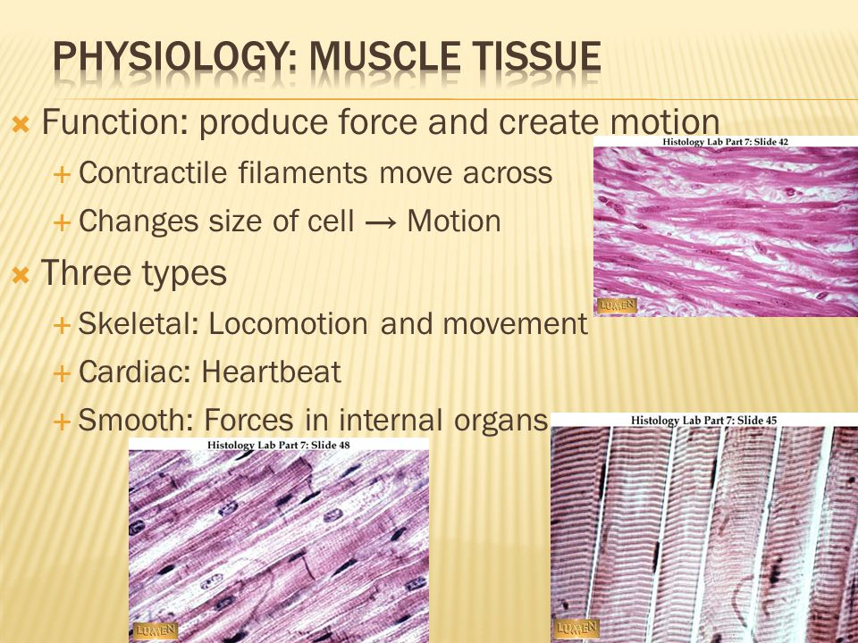  Function: produce force and create motion  Contractile filaments move across  Changes size of cell → Motion  Three types  Skeletal: Locomotion and movement  Cardiac: Heartbeat  Smooth: Forces in internal organs