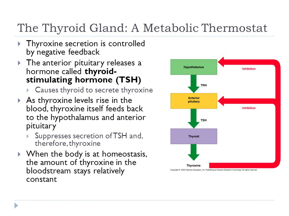The Thyroid Gland: A Metabolic Thermostat  Thyroxine secretion is controlled by negative feedback  The anterior pituitary releases a hormone called