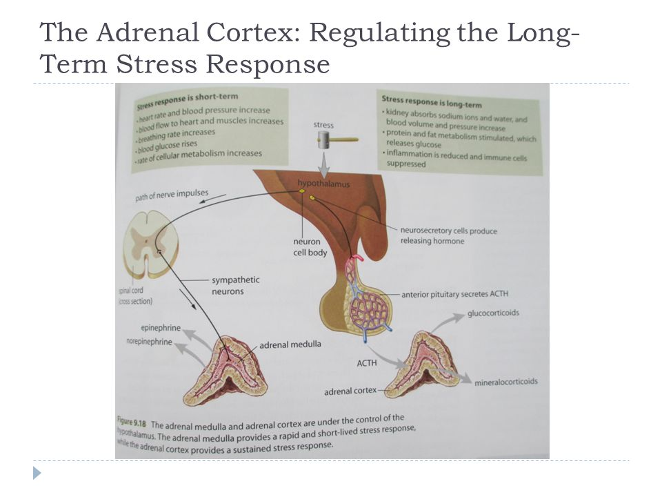 The Adrenal Cortex: Regulating the Long- Term Stress Response