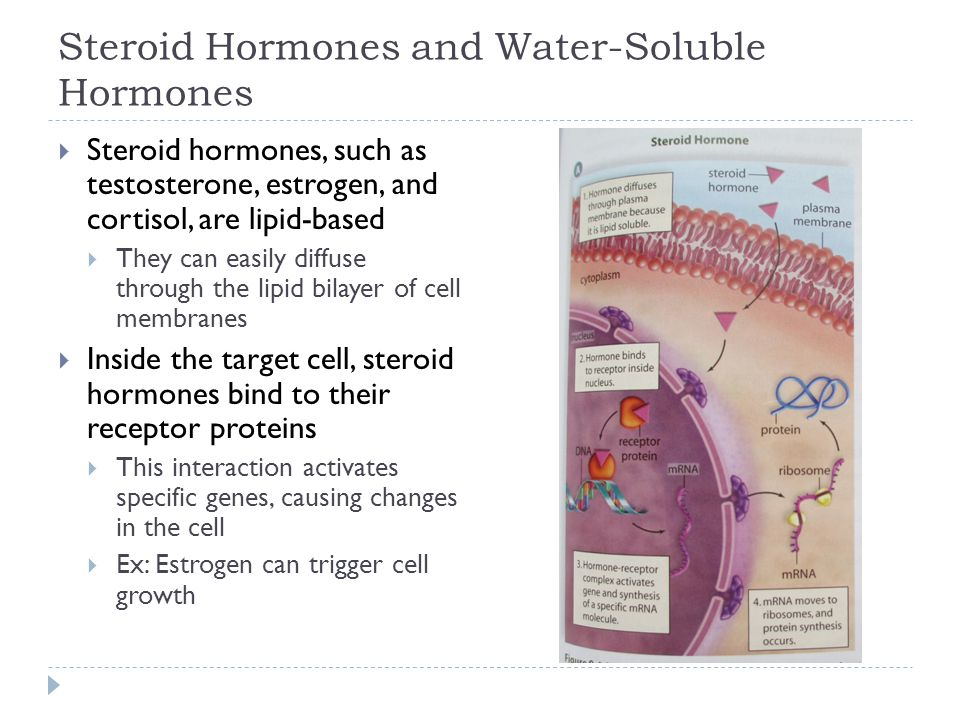 Steroid Hormones and Water-Soluble Hormones  Steroid hormones, such as testosterone, estrogen, and cortisol, are lipid-based  They can easily diffus