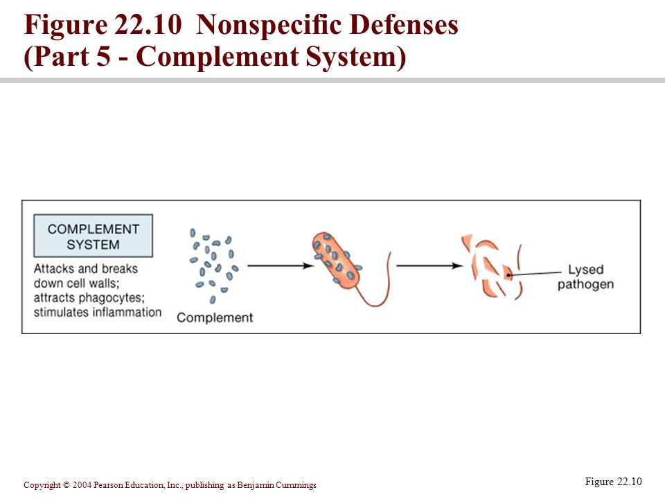 Copyright © 2004 Pearson Education, Inc., publishing as Benjamin Cummings Figure 22.10 Figure 22.10 Nonspecific Defenses (Part 5 - Complement System)