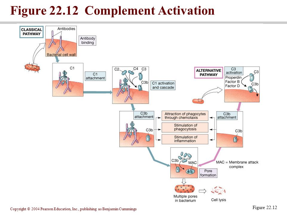 Copyright © 2004 Pearson Education, Inc., publishing as Benjamin Cummings Figure 22.12 Complement Activation Figure 22.12