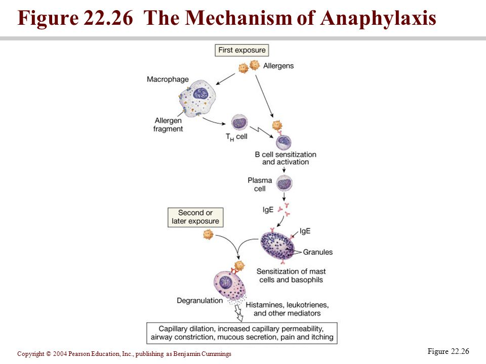 Copyright © 2004 Pearson Education, Inc., publishing as Benjamin Cummings Figure 22.26 The Mechanism of Anaphylaxis Figure 22.26