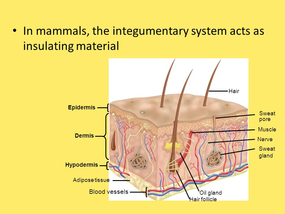 In mammals, the integumentary system acts as insulating material Hair Sweat pore Muscle Nerve Sweat gland Oil gland Hair follicle Blood vessels Adipose tissue Hypodermis Dermis Epidermis