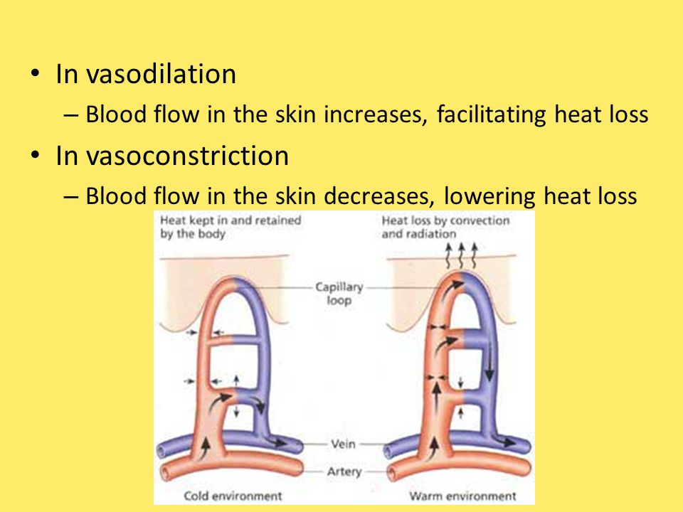 In vasodilation – Blood flow in the skin increases, facilitating heat loss In vasoconstriction – Blood flow in the skin decreases, lowering heat loss