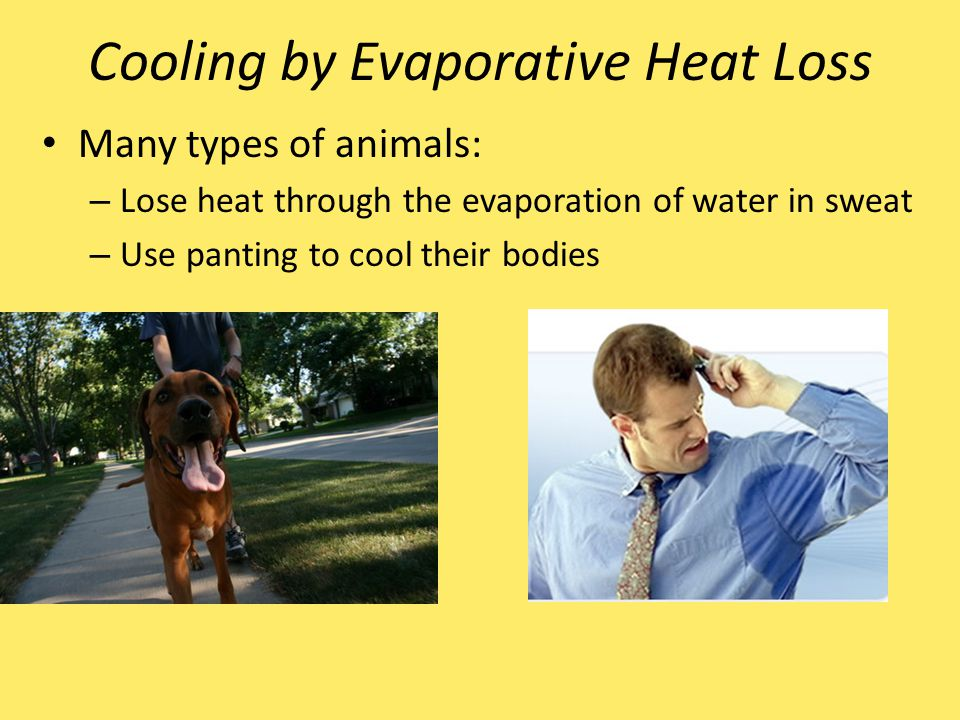 Cooling by Evaporative Heat Loss Many types of animals: – Lose heat through the evaporation of water in sweat – Use panting to cool their bodies
