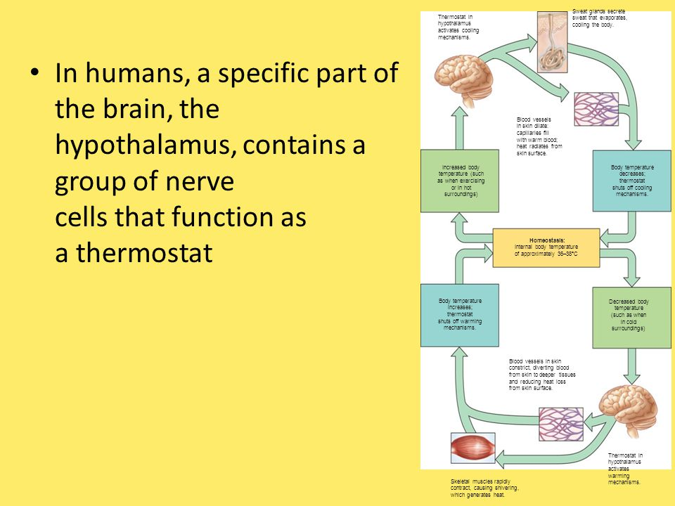 In humans, a specific part of the brain, the hypothalamus, contains a group of nerve cells that function as a thermostat Thermostat in hypothalamus activates cooling mechanisms.