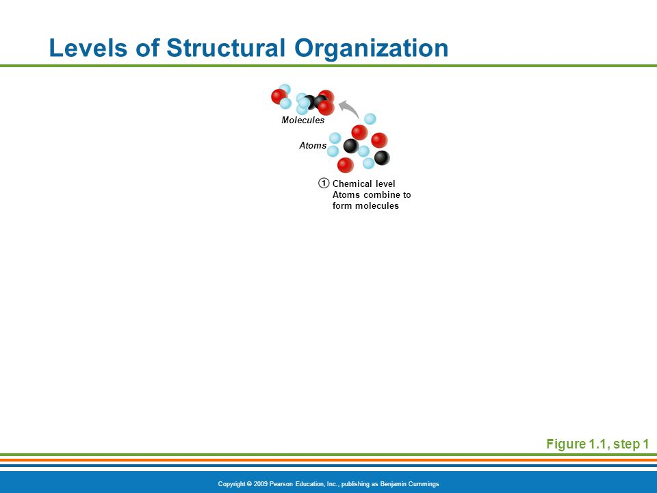 Copyright © 2009 Pearson Education, Inc., publishing as Benjamin Cummings Levels of Structural Organization Figure 1.1, step 1 Molecules Atoms Chemical level Atoms combine to form molecules