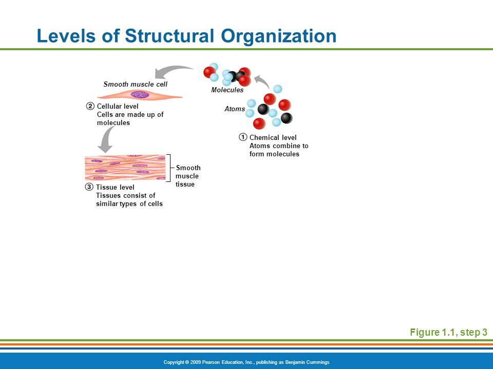 Copyright © 2009 Pearson Education, Inc., publishing as Benjamin Cummings Levels of Structural Organization Figure 1.1, step 3 Smooth muscle cell Molecules Atoms Smooth muscle tissue Cellular level Cells are made up of molecules Tissue level Tissues consist of similar types of cells Chemical level Atoms combine to form molecules