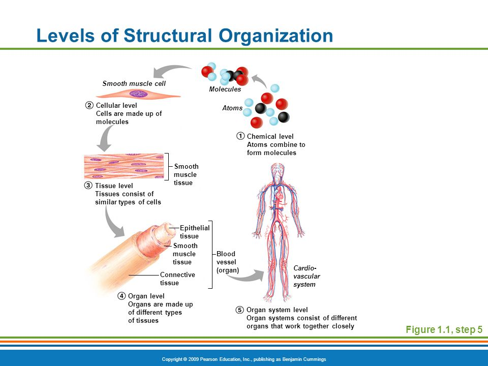 Copyright © 2009 Pearson Education, Inc., publishing as Benjamin Cummings Levels of Structural Organization Figure 1.1, step 5 Smooth muscle cell Molecules Atoms Smooth muscle tissue Epithelial tissue Smooth muscle tissue Connective tissue Blood vessel (organ) Cardio- vascular system Cellular level Cells are made up of molecules Tissue level Tissues consist of similar types of cells Organ level Organs are made up of different types of tissues Organ system level Organ systems consist of different organs that work together closely Chemical level Atoms combine to form molecules