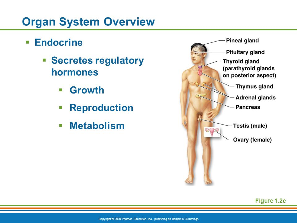Copyright © 2009 Pearson Education, Inc., publishing as Benjamin Cummings Organ System Overview  Endocrine  Secretes regulatory hormones  Growth  Reproduction  Metabolism Figure 1.2e