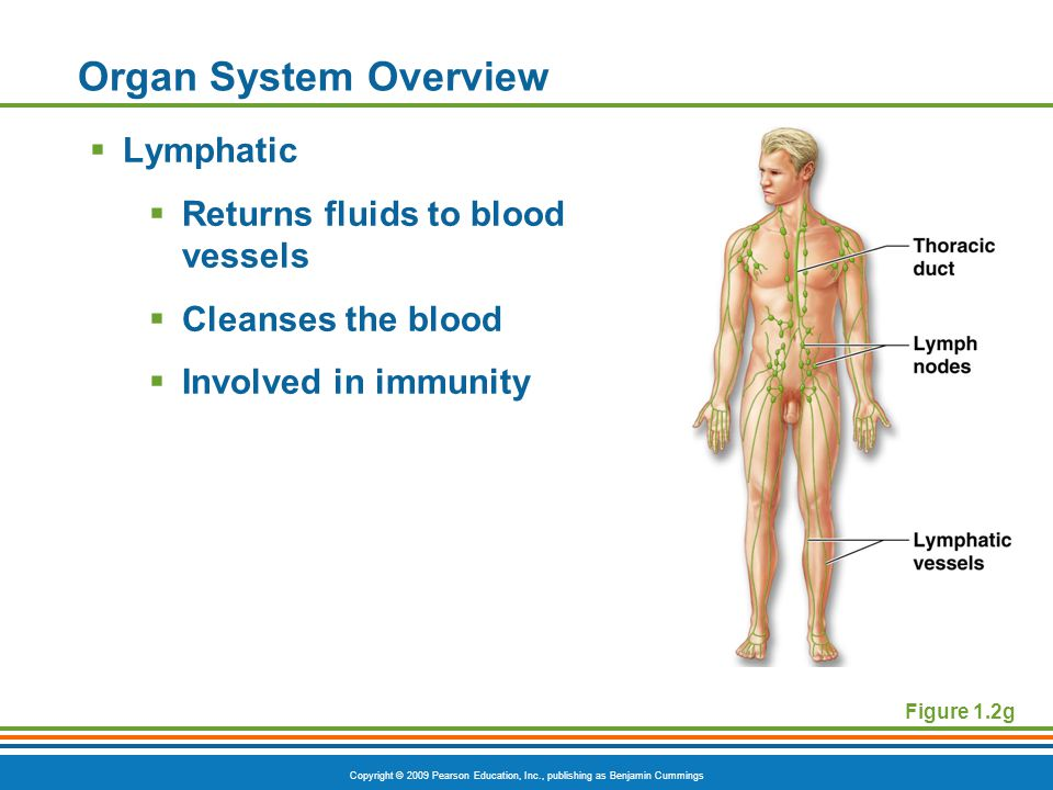Copyright © 2009 Pearson Education, Inc., publishing as Benjamin Cummings Organ System Overview  Lymphatic  Returns fluids to blood vessels  Cleanses the blood  Involved in immunity Figure 1.2g