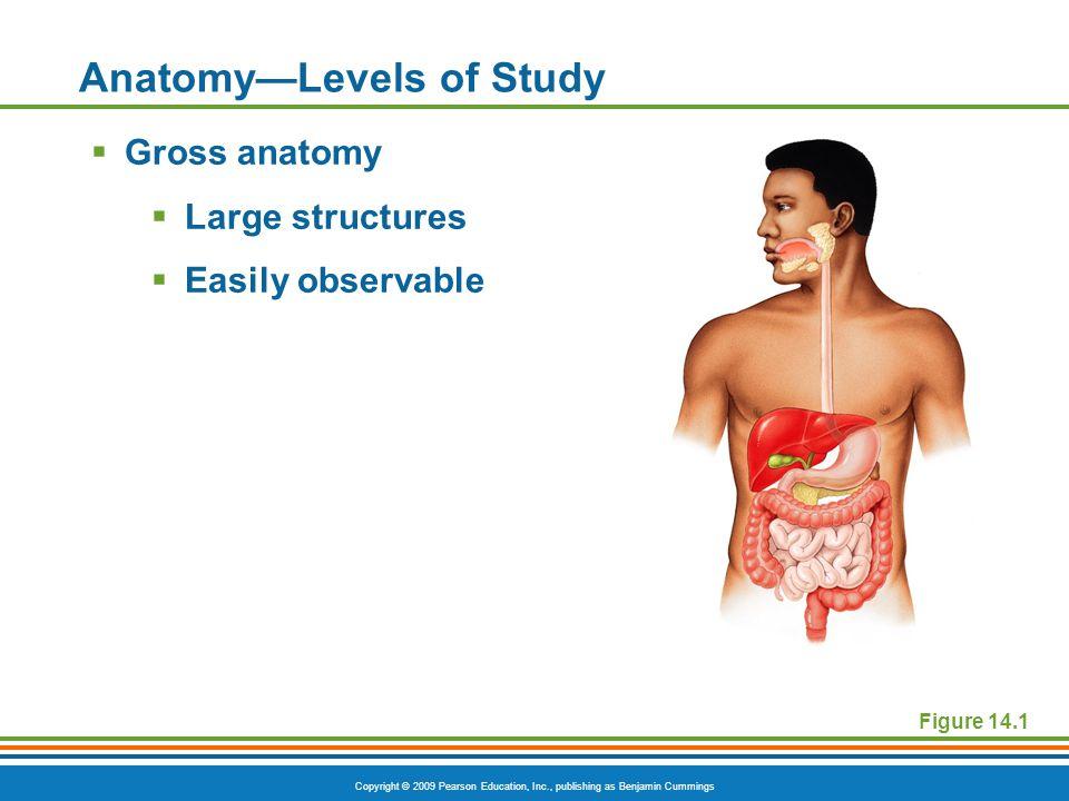 Copyright © 2009 Pearson Education, Inc., publishing as Benjamin Cummings Body Cavities Figure 1.7