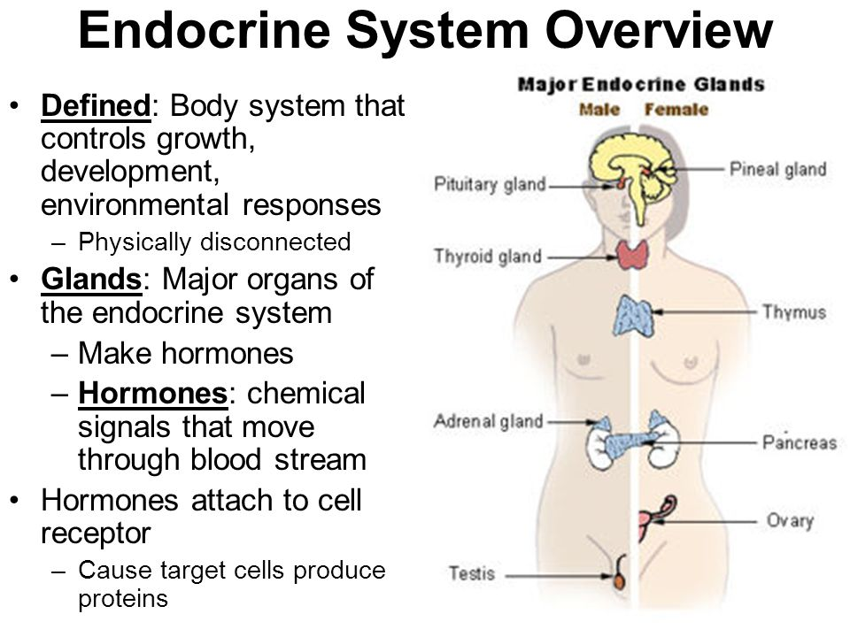 Endocrine System Overview Defined: Body system that controls growth, development, environmental responses –Physically disconnected Glands: Major organs of the endocrine system –Make hormones –Hormones: chemical signals that move through blood stream Hormones attach to cell receptor –Cause target cells produce proteins