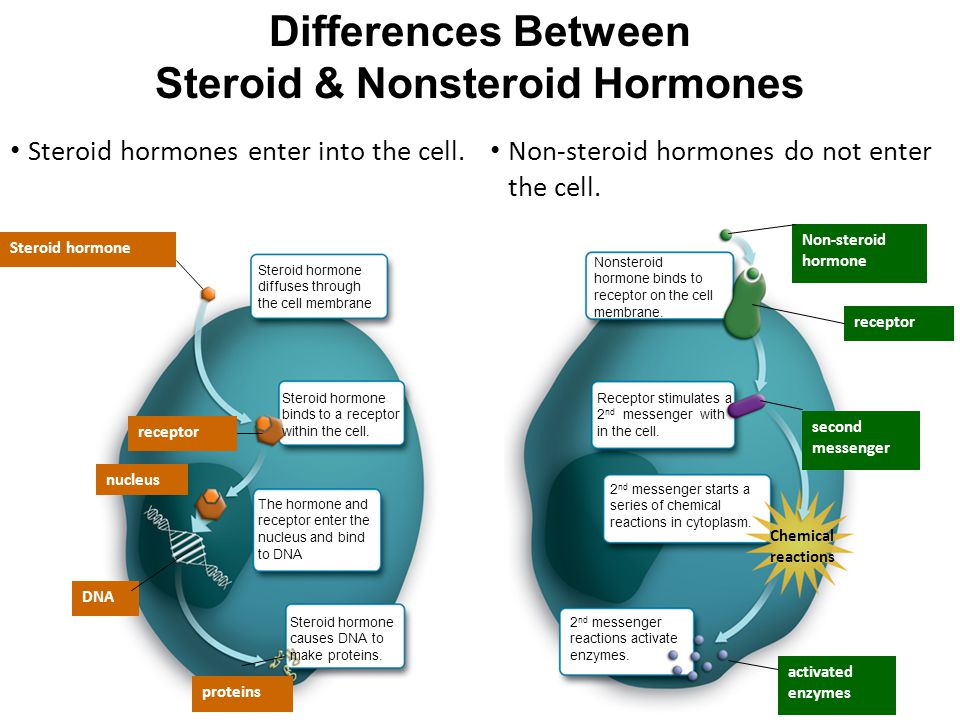 Differences Between Steroid & Nonsteroid Hormones The hormone and receptor enter the nucleus and bind to DNA Steroid hormone receptor nucleus DNA proteins Non-steroid hormone receptor second messenger Chemical reactions activated enzymes Steroid hormones enter into the cell.