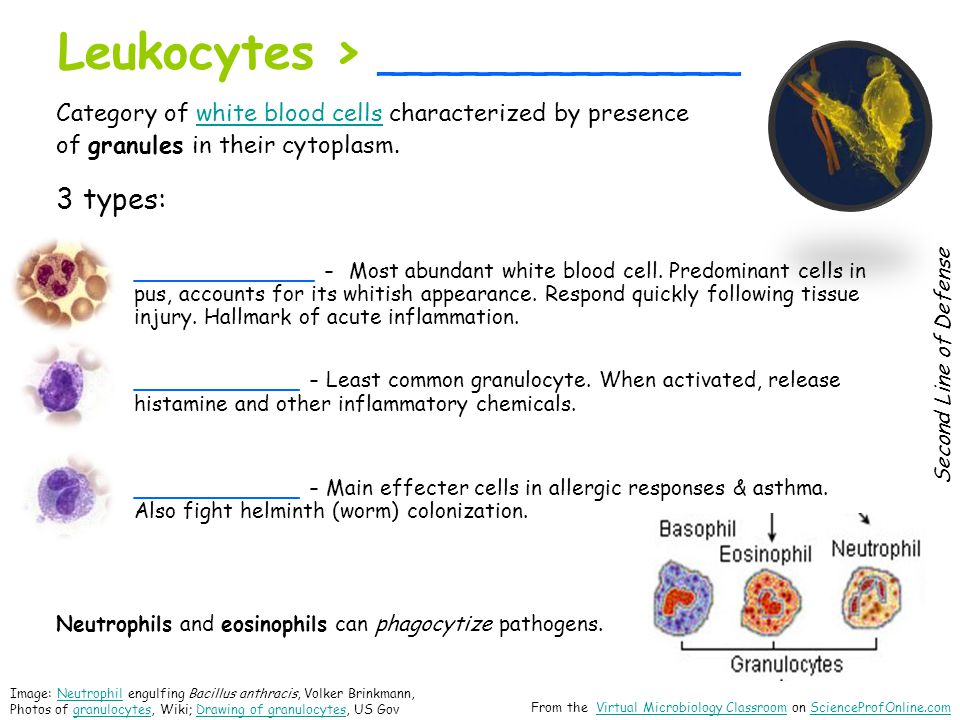 Leukocytes > _____________ Category of white blood cells characterized by presencewhite blood cells of granules in their cytoplasm.