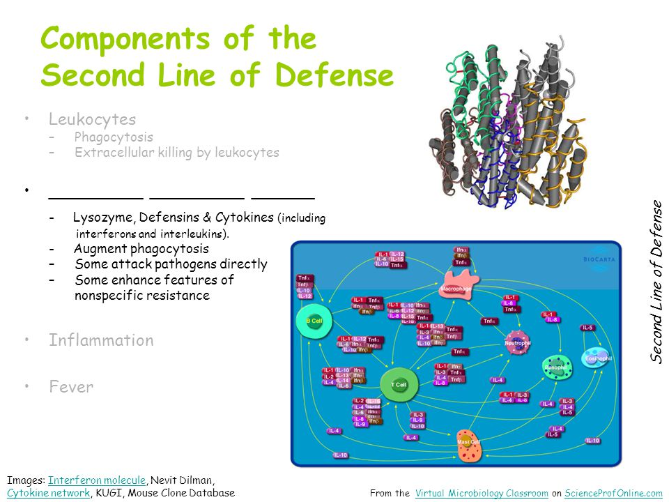 Components of the Second Line of Defense Leukocytes –Phagocytosis –Extracellular killing by leukocytes _________ _________ ______ - Lysozyme, Defensins & Cytokines (including interferons and interleukins).