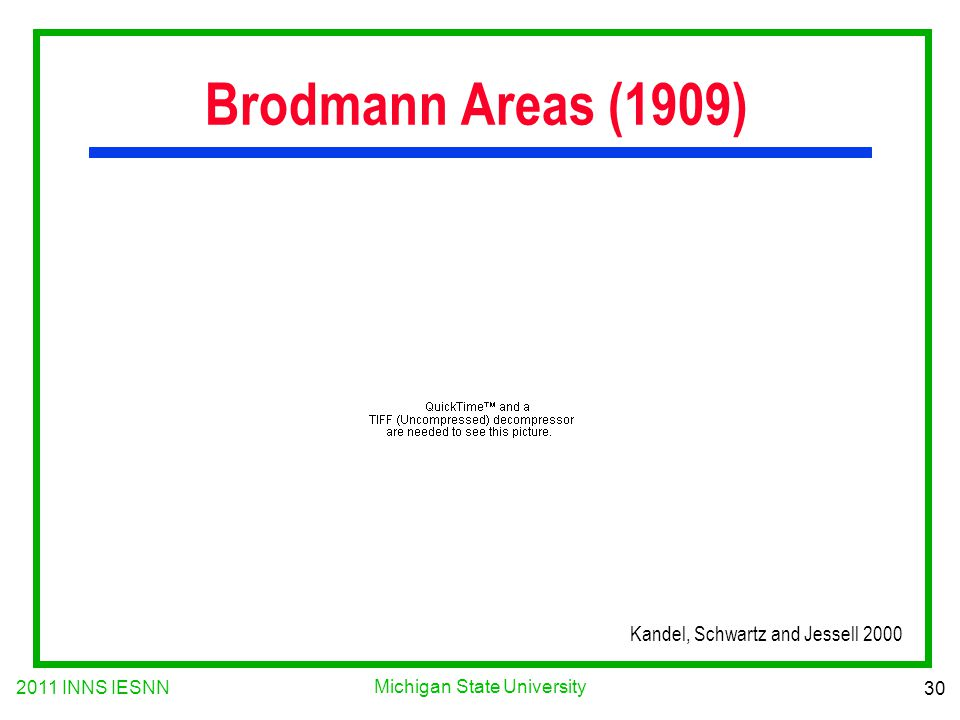2011 INNS IESNN 30 Michigan State University Brodmann Areas (1909) Kandel, Schwartz and Jessell 2000