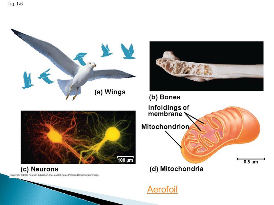 (a) Wings (c) Neurons (b) Bones Infoldings of membrane Mitochondrion (d) Mitochondria 0.5 µm 100 µm Fig. 1-6 Aerofoil