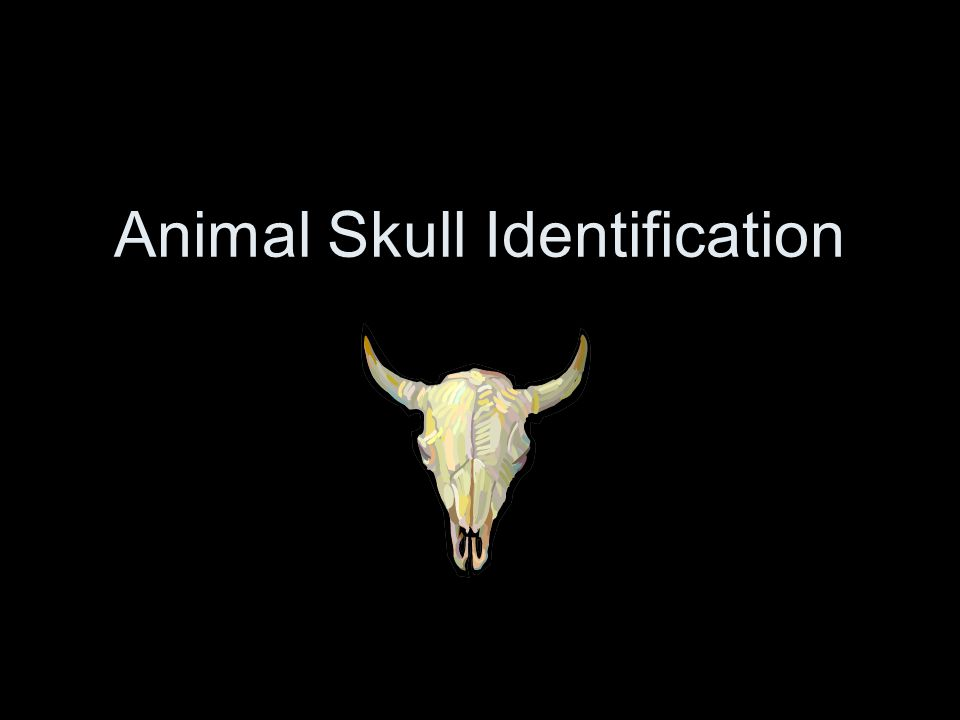 Skull #5: Raccoon - Omnivore