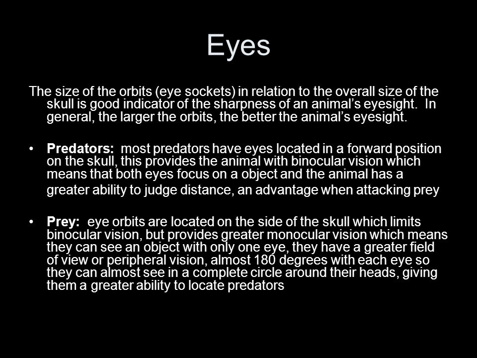 Eyes The size of the orbits (eye sockets) in relation to the overall size of the skull is good indicator of the sharpness of an animal's eyesight. In