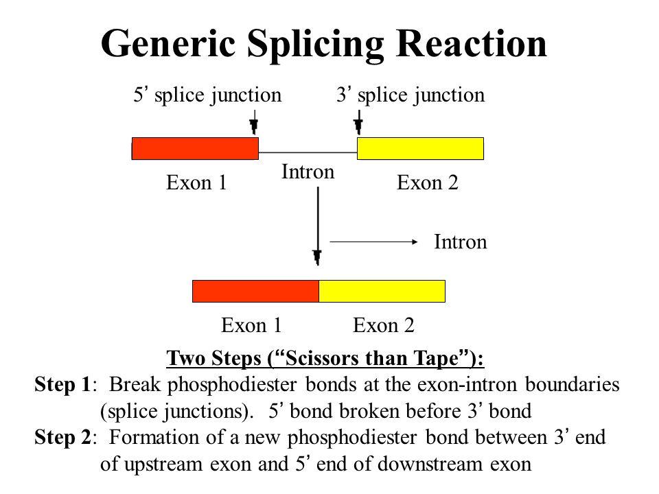 "Generic Splicing Reaction Intron Two Steps ( "" Scissors than Tape "" ): Step 1: Break phosphodiester bonds at the exon-intron boundaries (splice juncti"