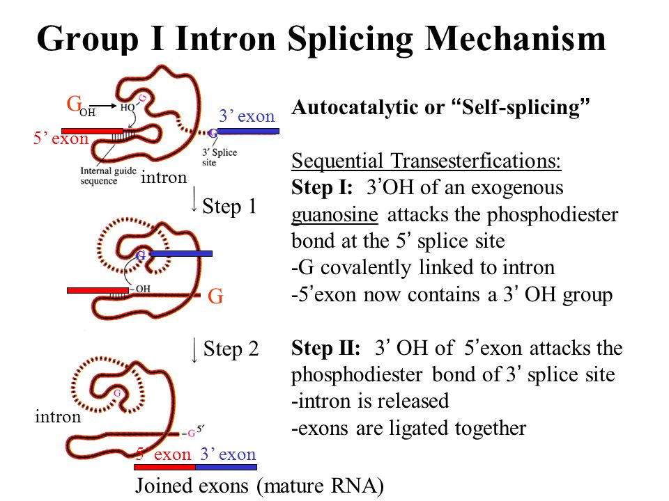 """Group I Intron Splicing Mechanism Autocatalytic or """" Self-splicing """" Sequential Transesterfications: Step I: 3 ' OH of an exogenous guanosine attacks"""