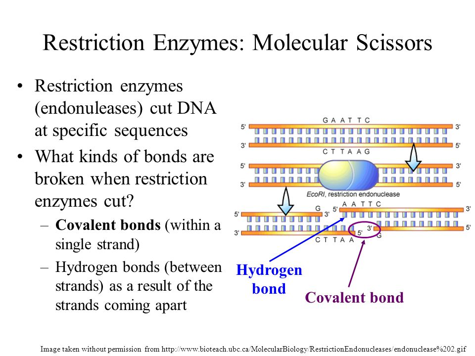 Restriction Enzymes AP Biology Unit 2 Images obtained without permission from http://w3.dwm.ks.edu.tw/bio/activelearner/14/images/ch14summary.gif and