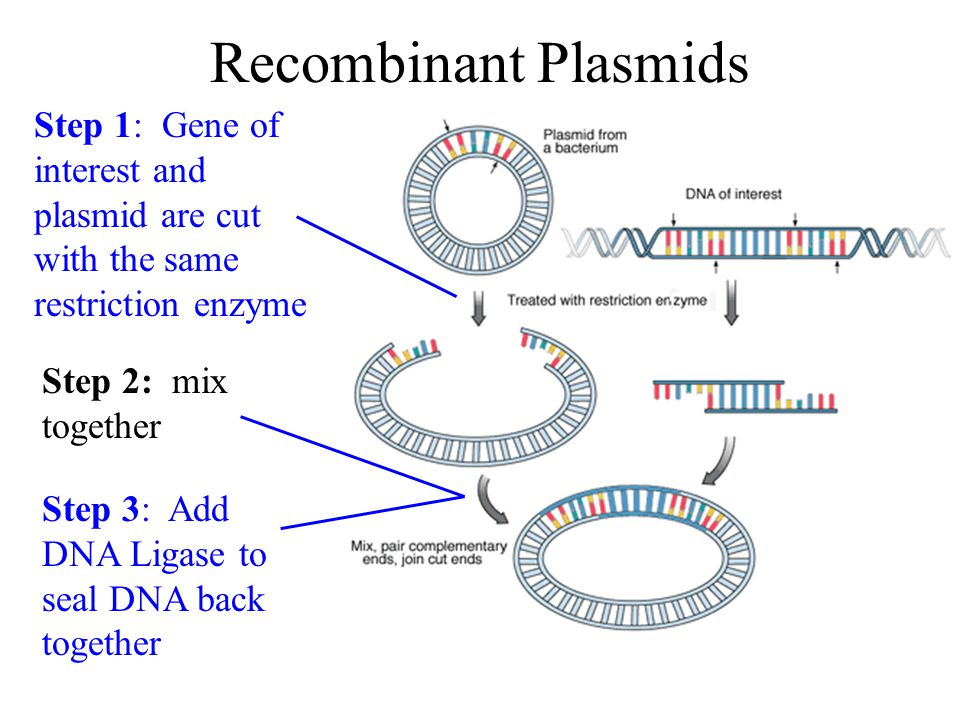 Recombinant DNA Recombinant DNA is constructed using restriction enzymes Important: In order to join 2 pieces of DNA together they have to be cut by the same restriction enzyme –Why.