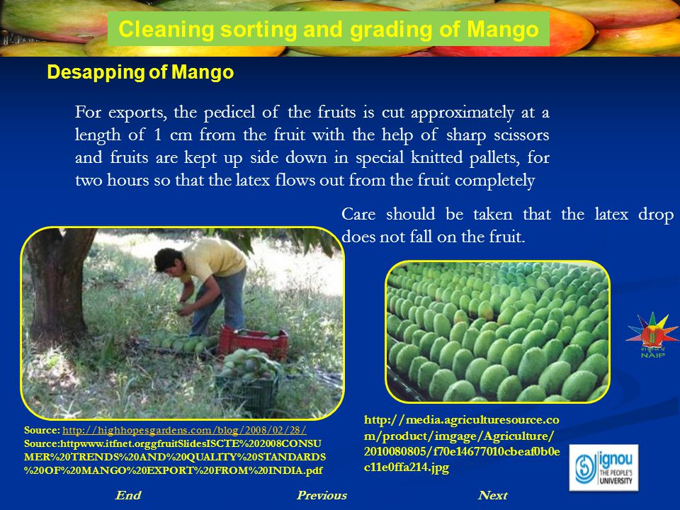Desapping of Mango Care should be taken that the latex drop does not fall on the fruit. NextPreviousEnd For exports, the pedicel of the fruits is cut