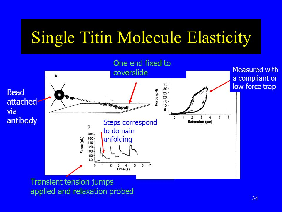 34 Single Titin Molecule Elasticity Bead attached via antibody One end fixed to coverslide Measured with a compliant or low force trap Steps correspond to domain unfolding Transient tension jumps applied and relaxation probed