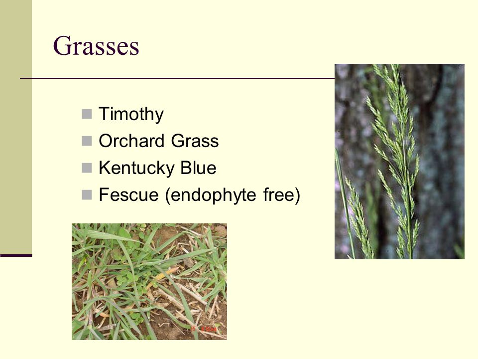 Grasses Timothy Orchard Grass Kentucky Blue Fescue (endophyte free)