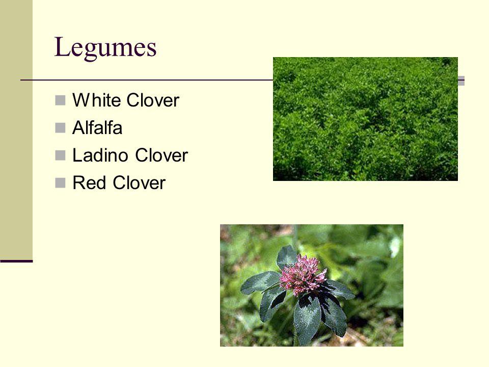 Legumes White Clover Alfalfa Ladino Clover Red Clover