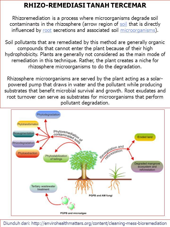 Diunduh dari: http://envirohealthmatters.org/content/cleaning-mess-bioremediation RHIZO-REMEDIASI TANAH TERCEMAR Rhizoremediation is a process where m