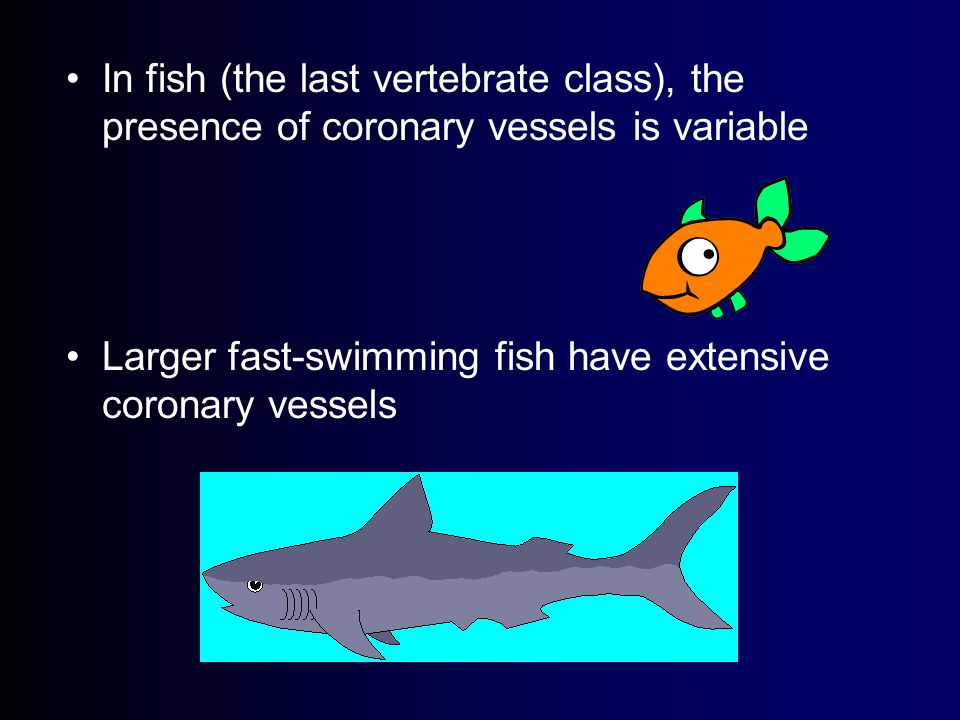 In fish (the last vertebrate class), the presence of coronary vessels is variable Larger fast-swimming fish have extensive coronary vessels