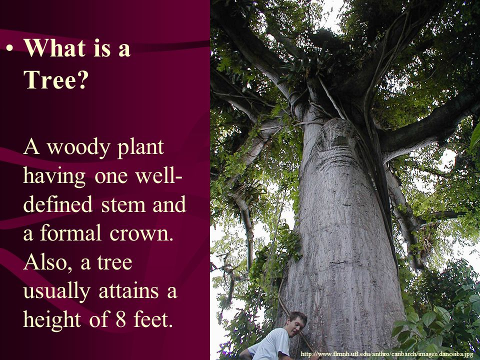 What is a Tree. A woody plant having one well- defined stem and a formal crown.