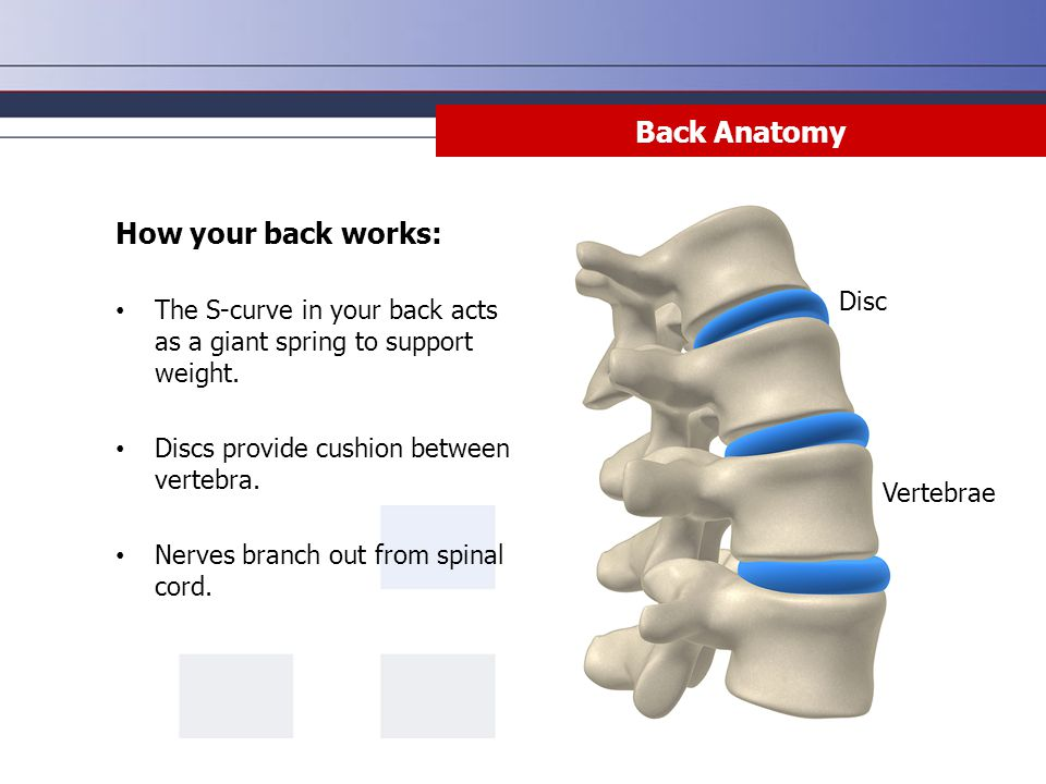 Back Anatomy How your back works: The S-curve in your back acts as a giant spring to support weight. Discs provide cushion between vertebra. Nerves br